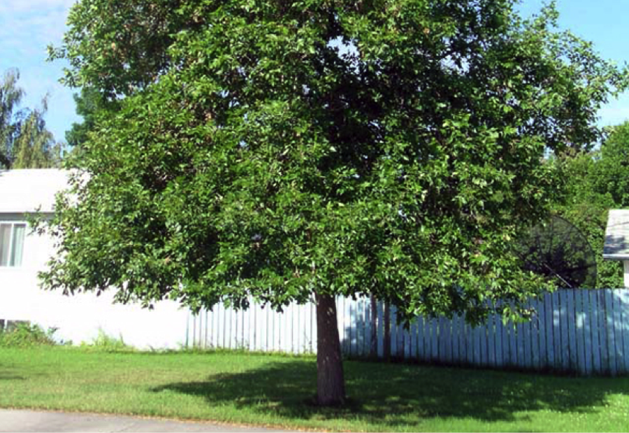 The Green Ash: A Chipps Tree Care Guide - Tree Cutting